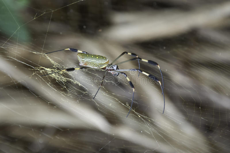 Grande araignée se reposant en son Web photos libres de droits