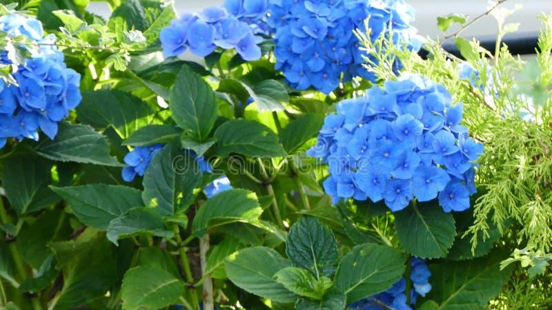Grande arbusto azul da flor fotografia de stock