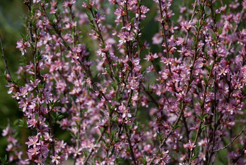 Grande arbusto com uma dispersão de flores cor-de-rosa pequenas imagens de stock royalty free