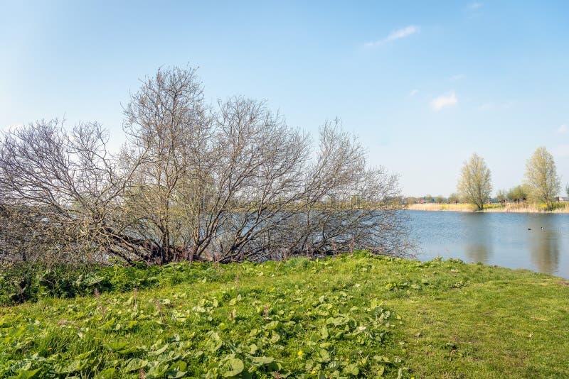 Grande arbusto con molti rami nudi sull'orlo di un lago immagini stock