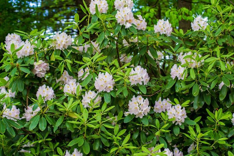 Grande arbusto del rododendro fotografia stock libera da diritti