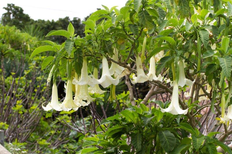 Grande arbusto no arborea do Brugmansia do jardim Sino-flor, estramônio foto de stock