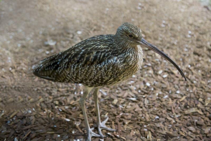 Grande arco, crepa eurasiana, becco lungo il terreno Uccelli, ornitologia immagine stock libera da diritti