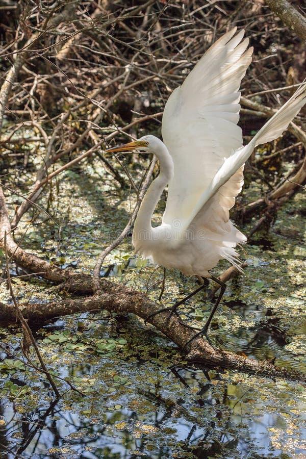 Grande ardea degli uccelli dell'egretta alba fotografia stock