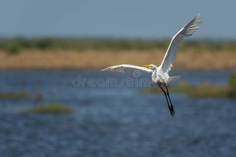 Grande Ardea do Egret alba fotos de stock