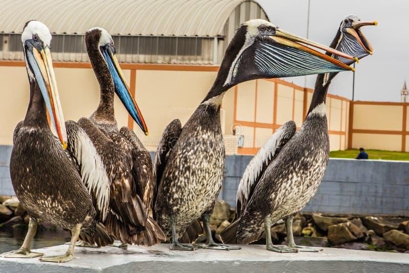 Grande assento do pelicano quatro imagens de stock royalty free