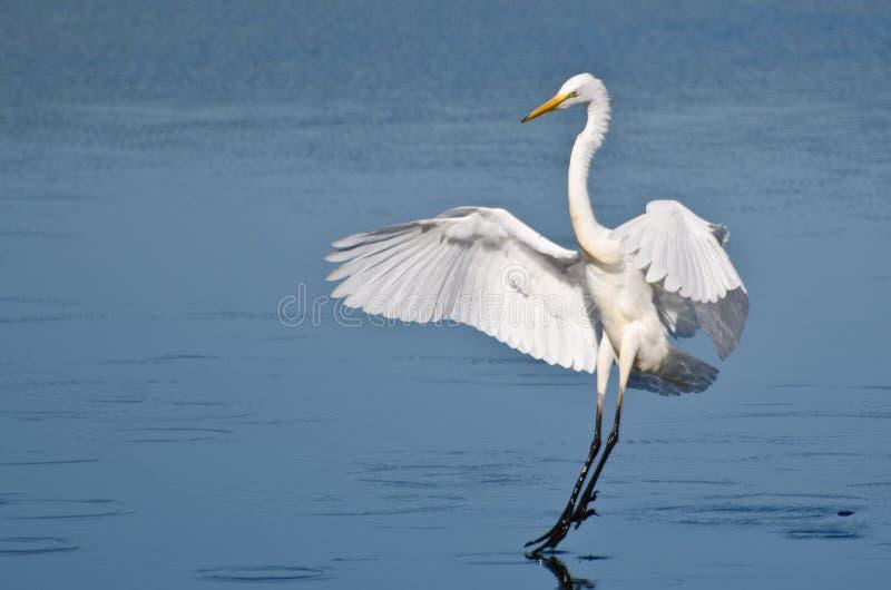 Grande aterrissagem do Egret na água pouco profunda fotos de stock