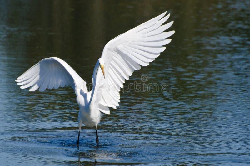 Grande aterrissagem do Egret na água pouco profunda imagem de stock