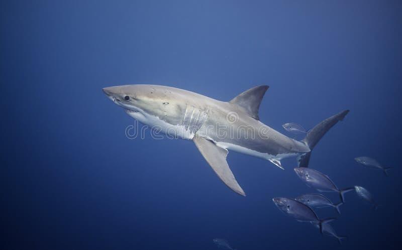Grande Australie du sud de requin blanc images libres de droits