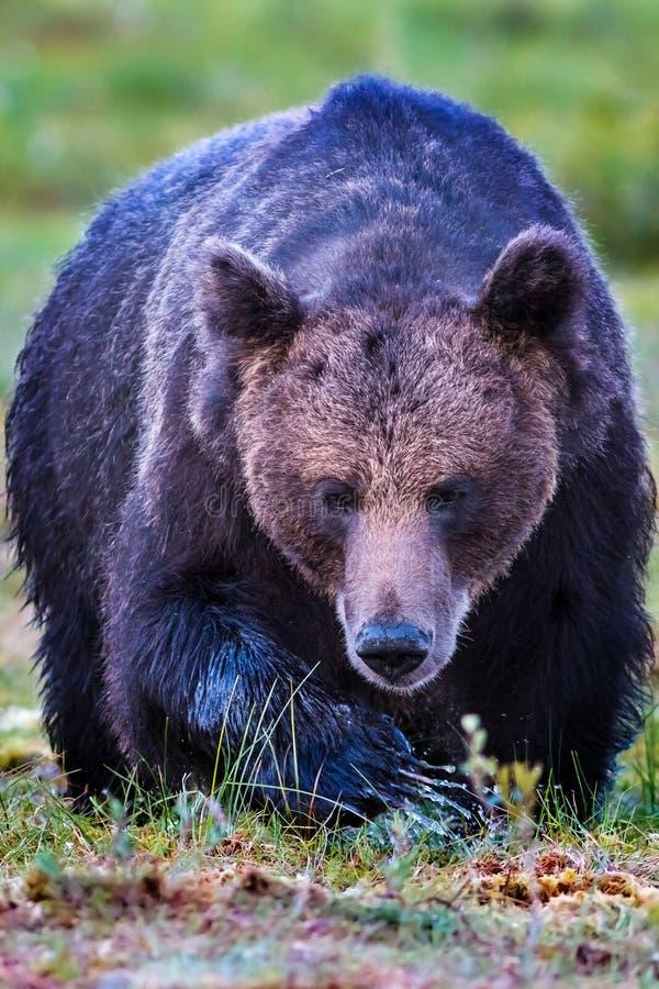 Grande avvicinamento maschio dell'orso bruno immagine stock