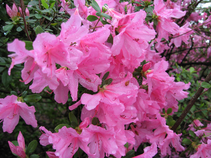 Grande Azalea Flowering Shrub rosa immagine stock libera da diritti
