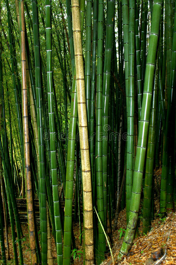Grande bambù fotografie stock
