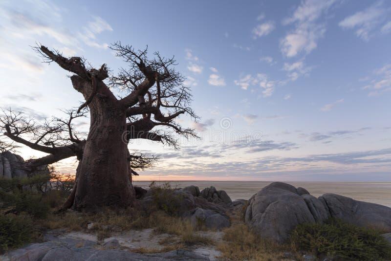 Grande baobab solitário no por do sol imagens de stock royalty free