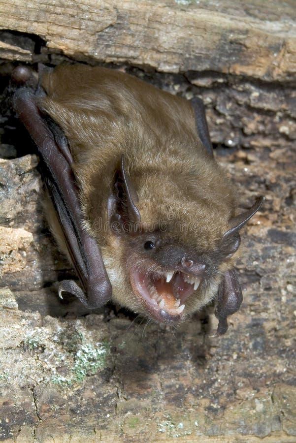 Grande 'bat' brune (fuscus d'Eptesicus) photo stock