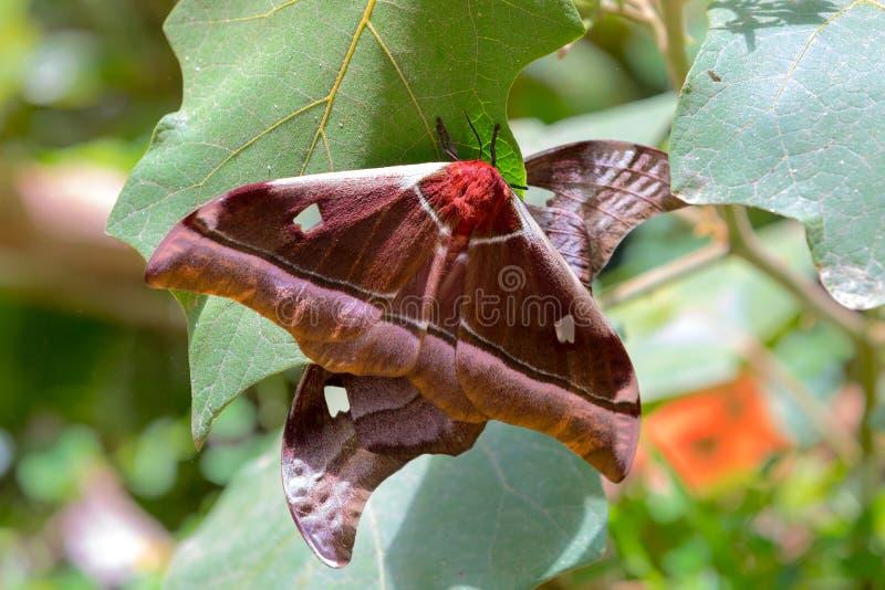 Grande belina di Gonimbrasia della farfalla, lepidottero di imperatore Madagascar immagini stock