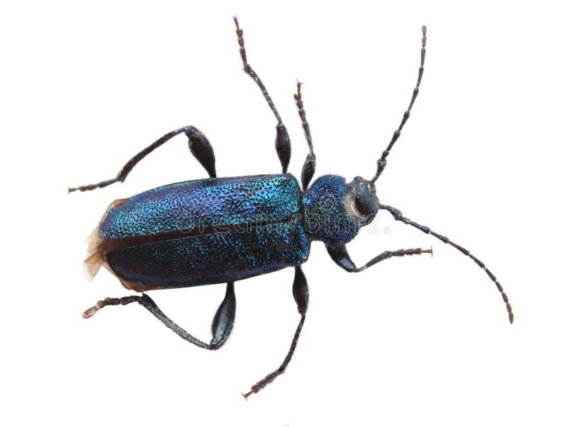 """Grande bella famiglia blu dell'insetto """"Saperdaviola"""" dello scarabeo della mucca texana immagine stock"""