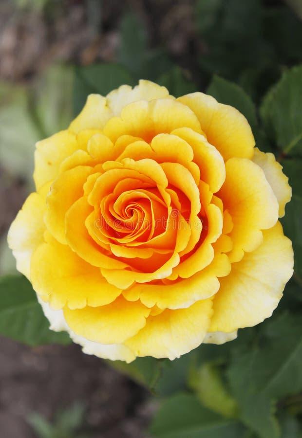 Grande belle fleur de rose de jaune photographie stock