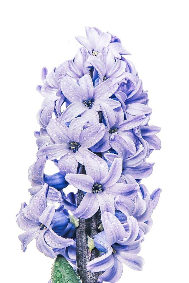 Grande belle jacinthe pourpre avec des gouttes de pluie d'isolement sur le fond blanc photos libres de droits