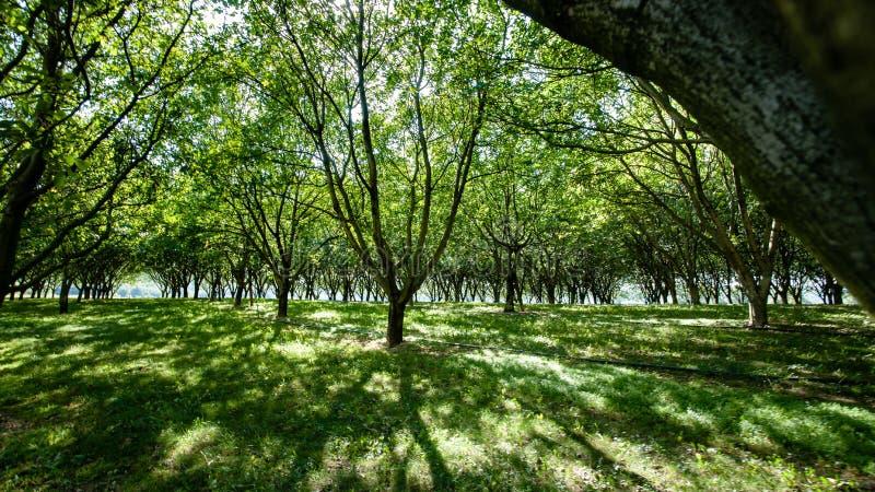 Grande belle lumière du soleil entre une plantation d'arbre fruitier photographie stock