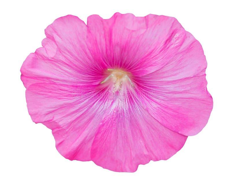 Grande bello Lavatera rosa del fiore immagini stock
