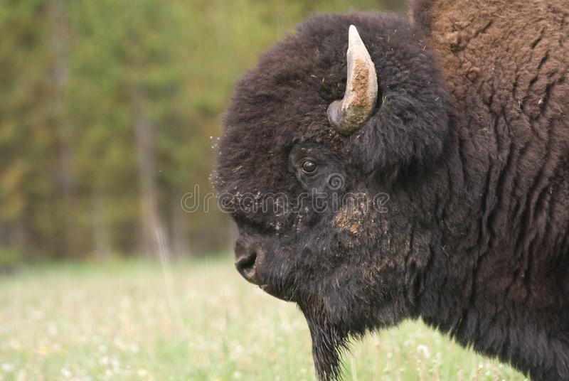 Grande Bisonte Americano Fotografie Stock