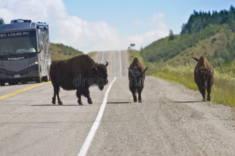 Grande bisonte três na estrada de Alaska imagens de stock