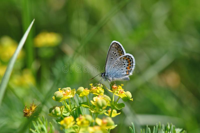 Grande borboleta azul fotografia de stock