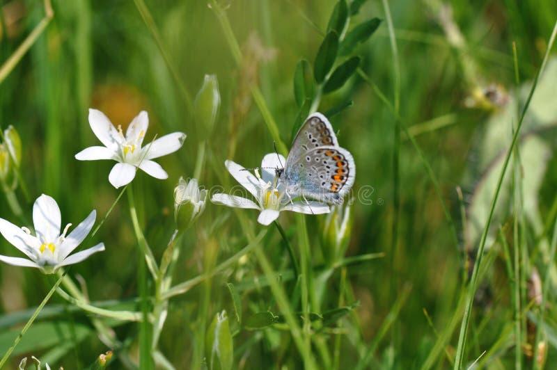 Grande borboleta azul foto de stock