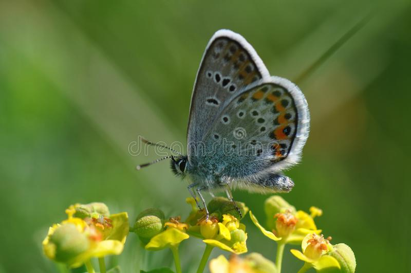 Grande borboleta azul foto de stock royalty free