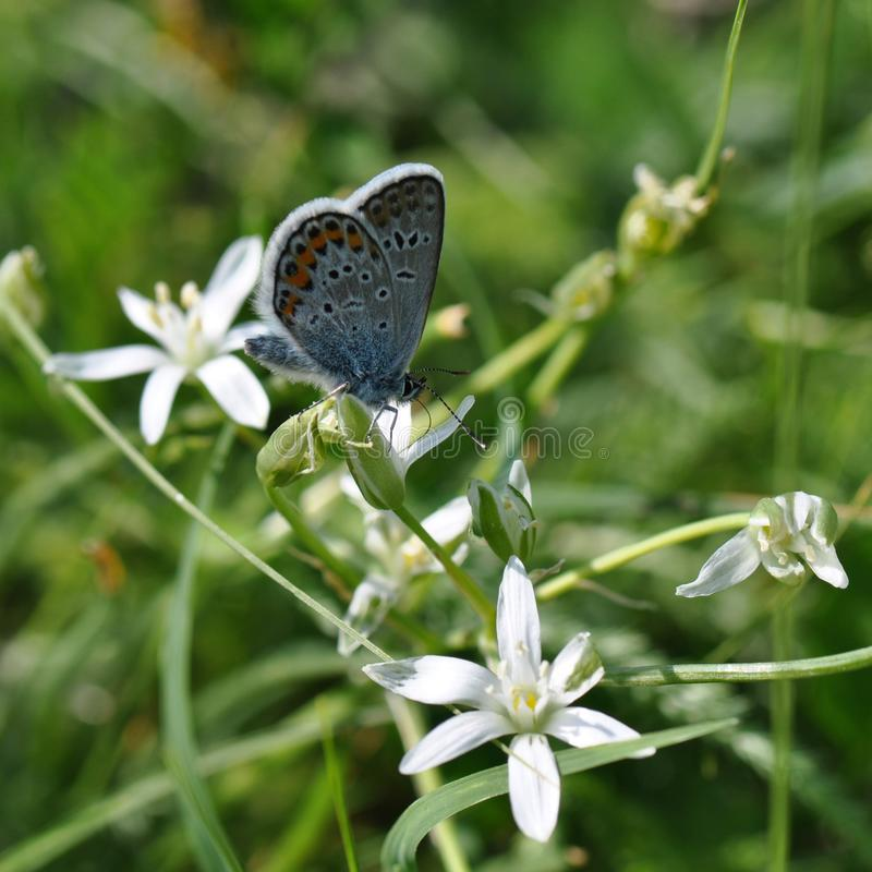 Grande borboleta azul imagem de stock royalty free