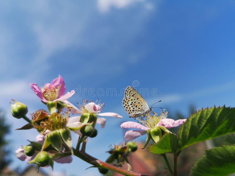 Grande borboleta azul fotos de stock royalty free