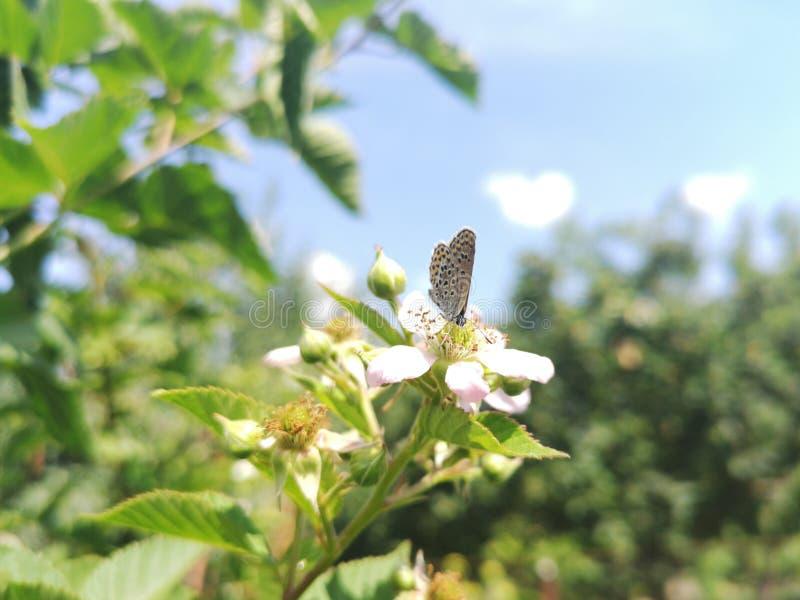 Grande borboleta azul fotos de stock