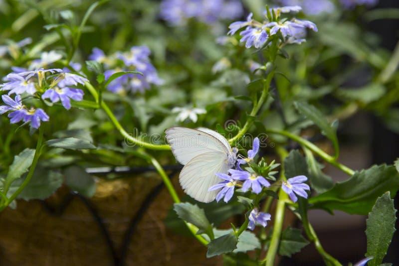 Grande borboleta branca do sul masculina foto de stock