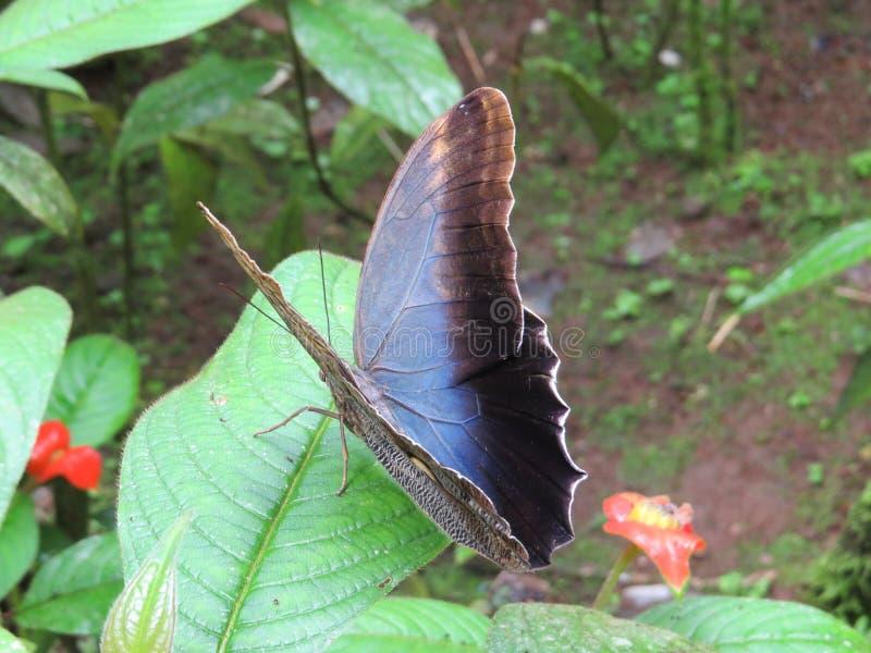 Grande borboleta da coruja foto de stock