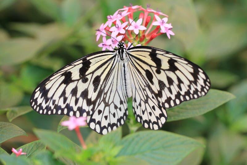 Grande borboleta das ninfas da árvore, borboleta de papel do papagaio, borboleta de papel do arroz imagens de stock