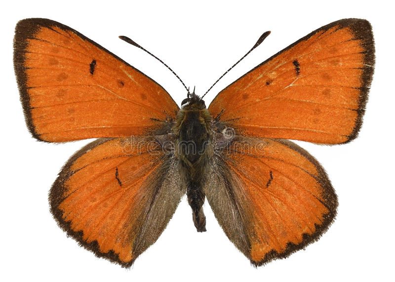 Grande borboleta de cobre isolada fotografia de stock