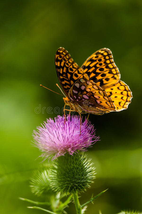 Grande borboleta Spangled do Fritillary foto de stock royalty free