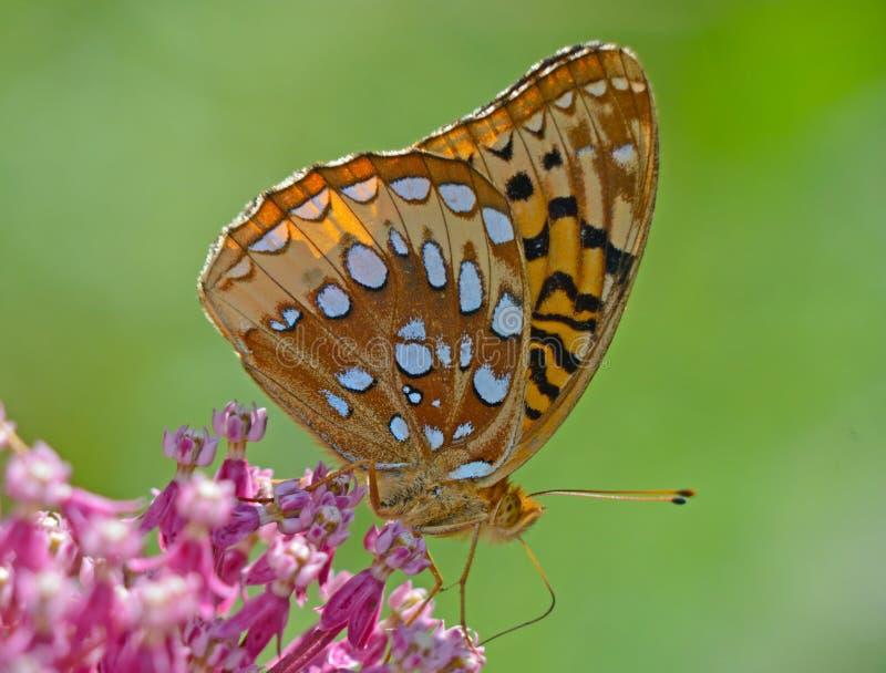 Grande borboleta Spangled do Fritillary que alimenta no Milkweed cor-de-rosa imagens de stock