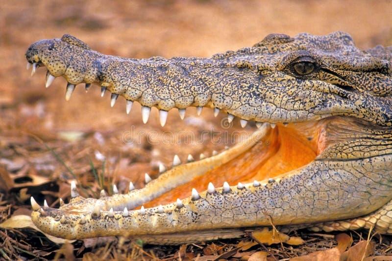 Grande bouche : Crocodile d'eau de mer photo libre de droits