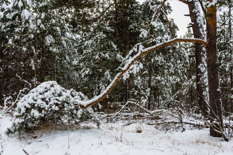 Grande branche de pin pliée à la terre photos stock