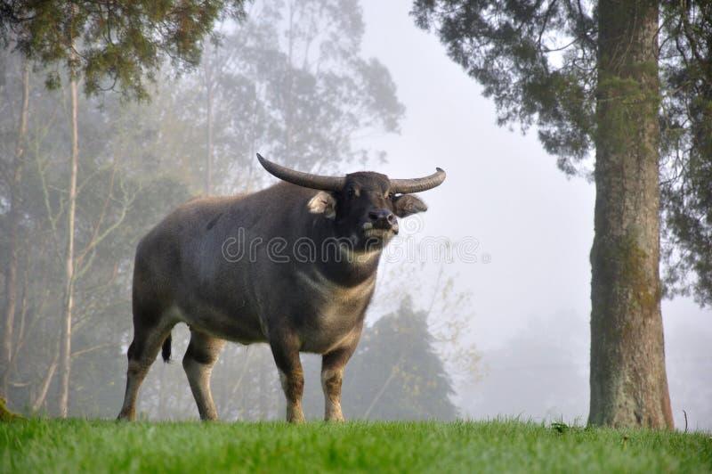 Grande bufalo fotografia stock