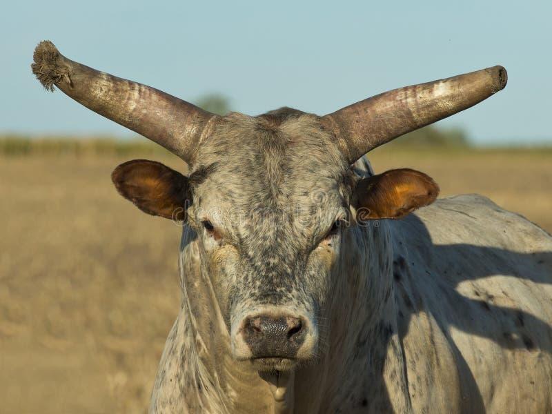 Grande Bull imagens de stock