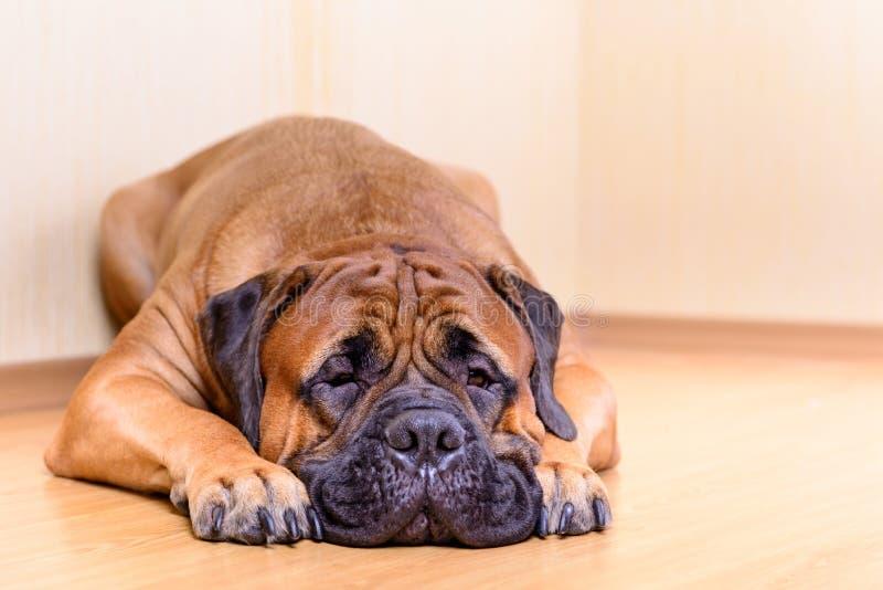 Grande bullmastiff del cane di animale domestico fotografia stock