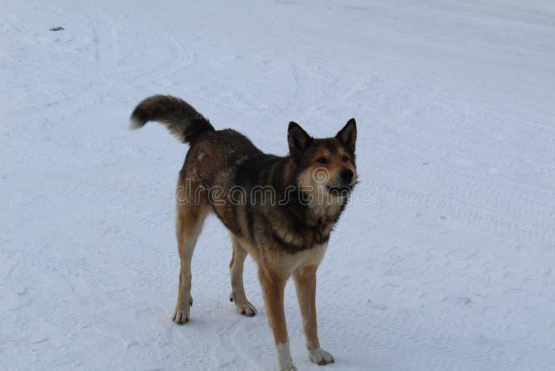 Grande cão, animal de estimação, melhor amigo do ` s do homem na rua no inverno imagem de stock
