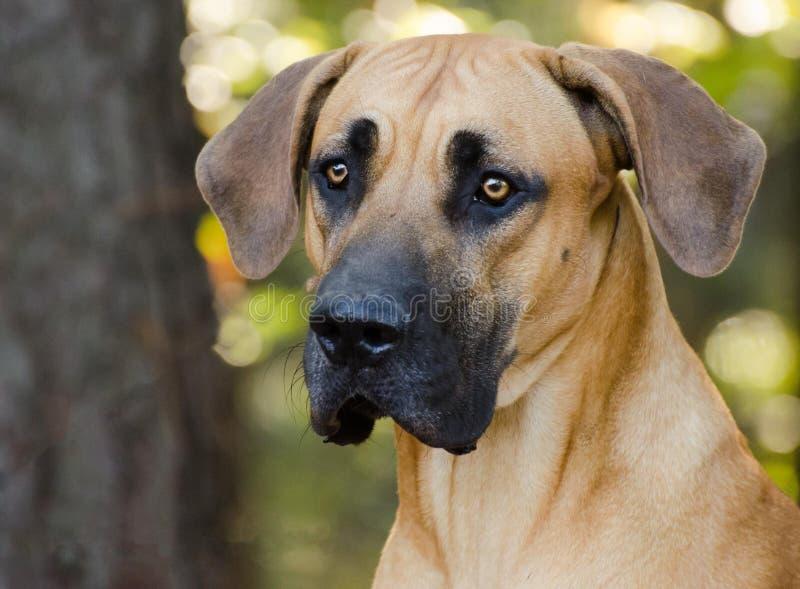 Grande cão de Dane Mastiff fotos de stock royalty free