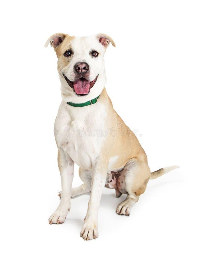 Grande cão feliz que senta-se no branco fotos de stock