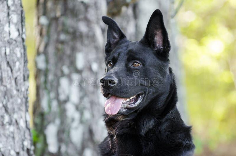 Grande cão preto da raça da mistura do pastor alemão, salvamento do animal de estimação fotografia de stock royalty free