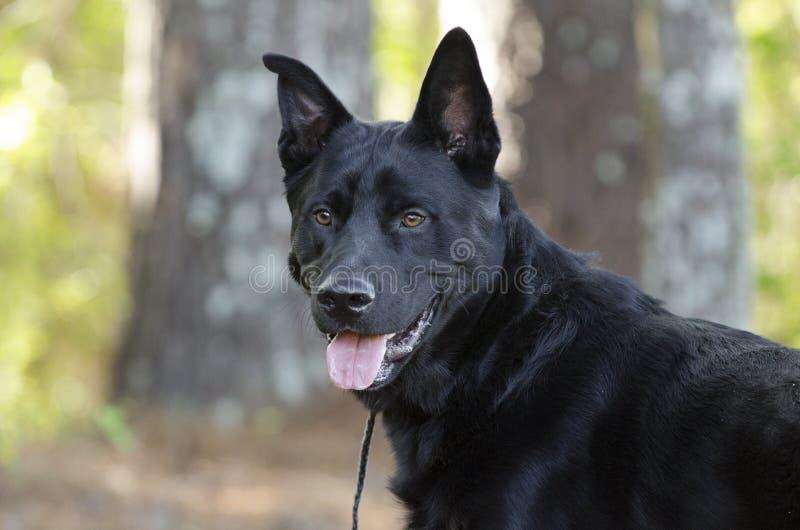 Grande cão preto da raça da mistura do pastor alemão, salvamento do animal de estimação fotos de stock
