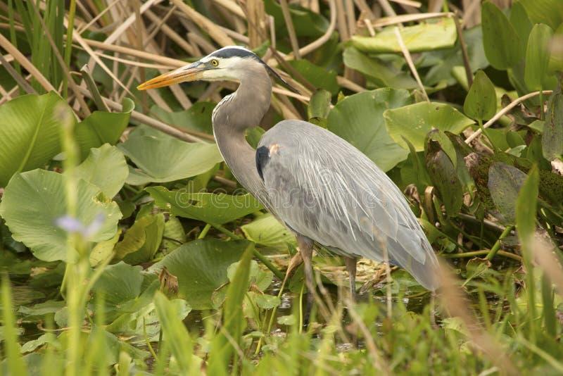 Grande caccia dell'airone blu ad Orlando Wetlands Park fotografie stock