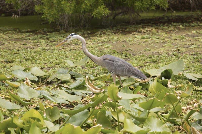 Grande caccia dell'airone blu ad Orlando Wetlands Park immagini stock